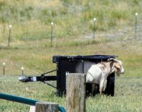 Silly, silly, goat…..